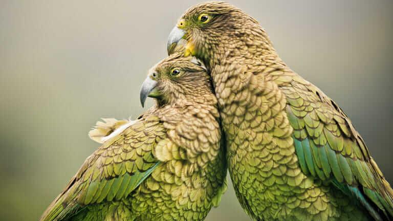ニュージーランド 鳥 羊