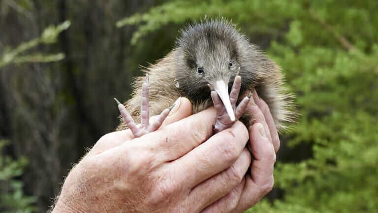 ニュージーランド 国鳥 キウイ